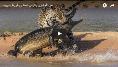 شاهد هذه المعركة الشرسة بين نمر الجاكور وتمساح، فمن ينتصر؟